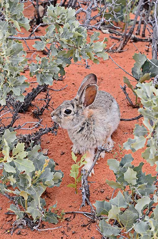 rabbit arizona usa