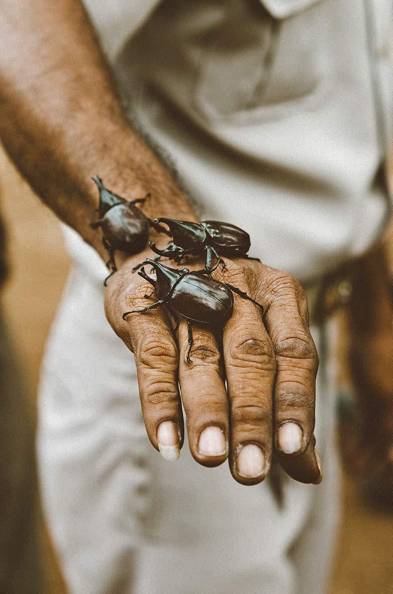 ayutthaya beetles