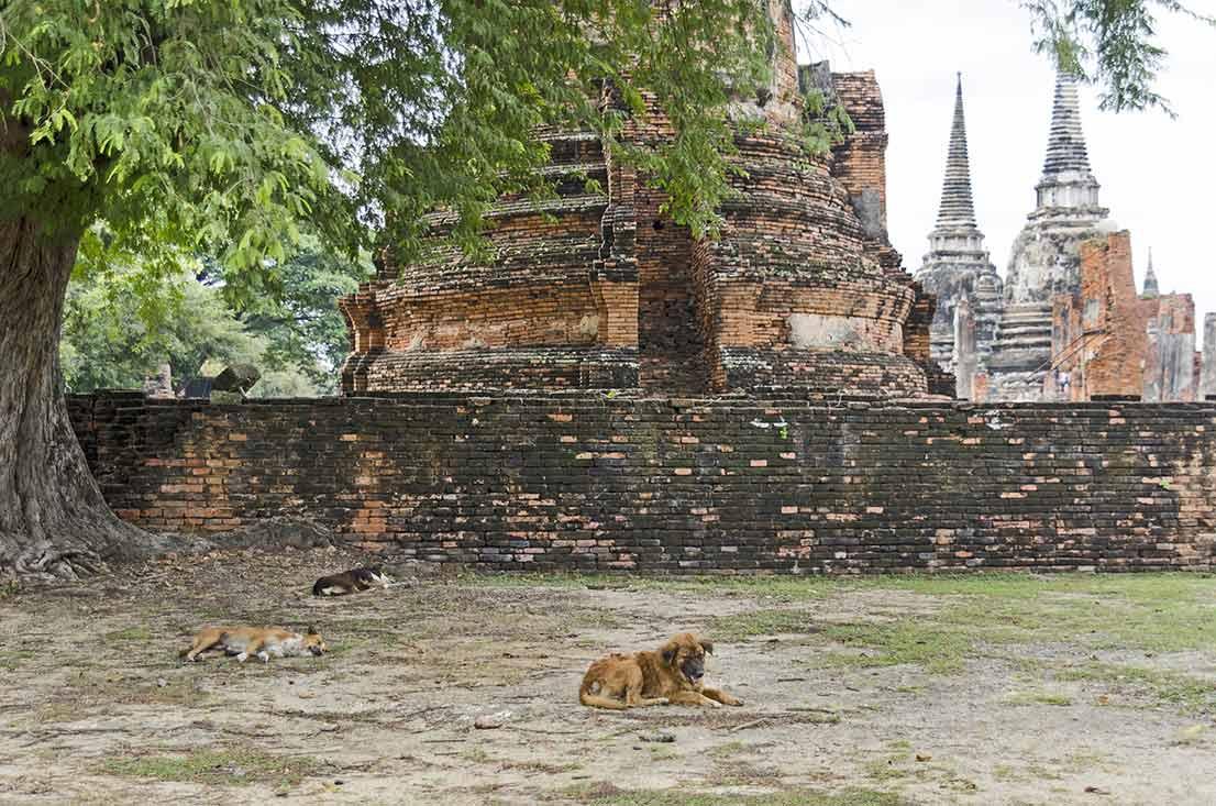 ayutthaya-dogs